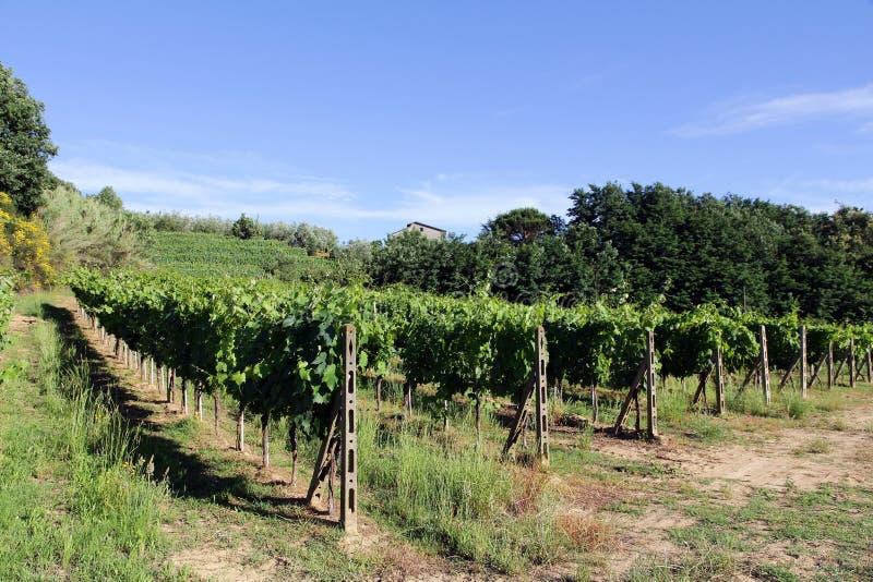 有藤的葡萄园在托斯卡纳(意大利) 免版税图库摄影