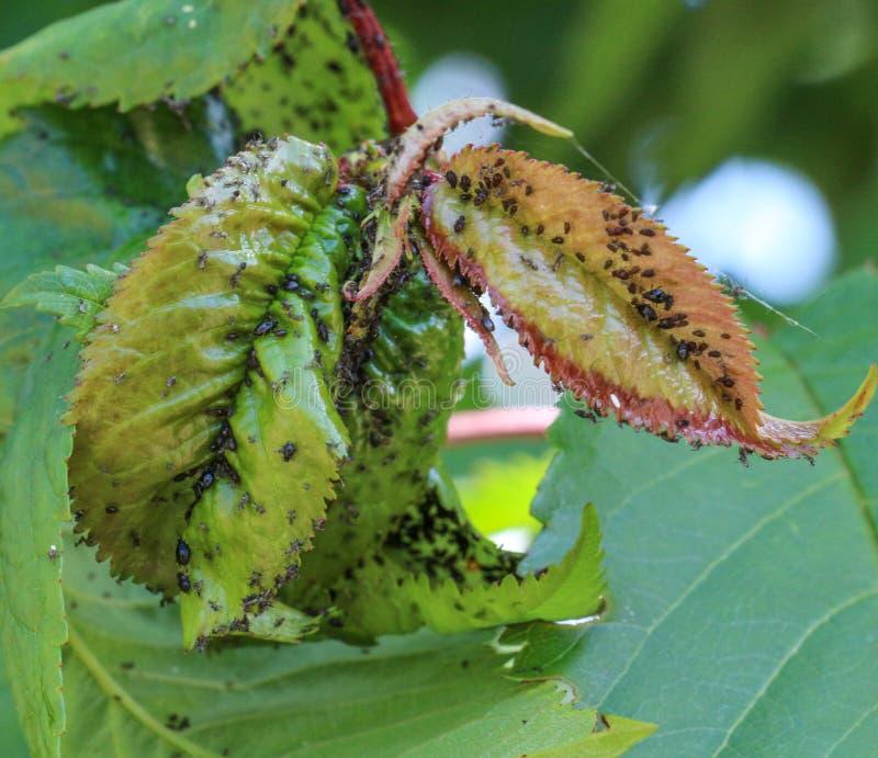 有虫的绿色李子叶子 库存图片