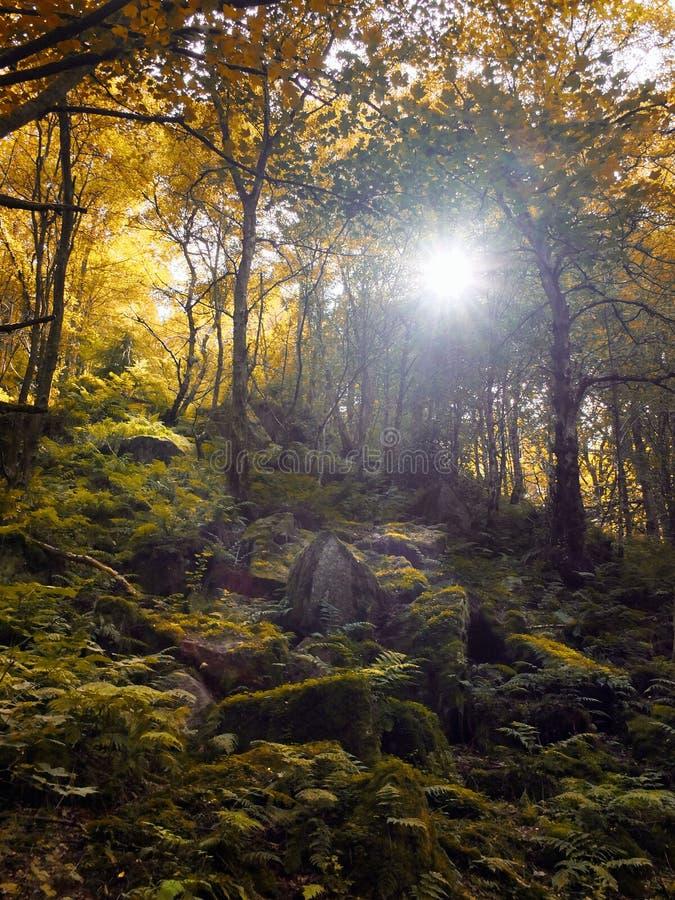 有虽则发光与金黄le的太阳的秋天森林地树 免版税库存照片