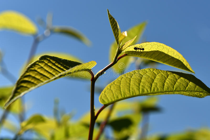 有蚂蚁的叶子 库存照片