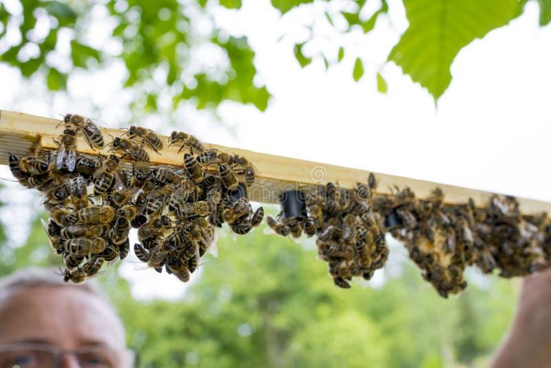 有蜂框架的蜂农与细胞酒吧-与蜂太后的女王/王后细胞 免版税库存照片