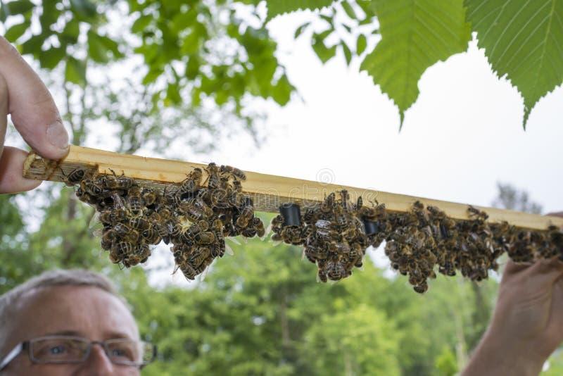 有蜂框架的蜂农与细胞酒吧-与蜂太后的女王/王后细胞 免版税库存图片