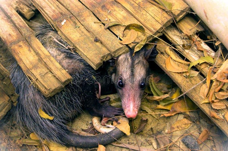有袋动物的负鼠 免版税库存图片