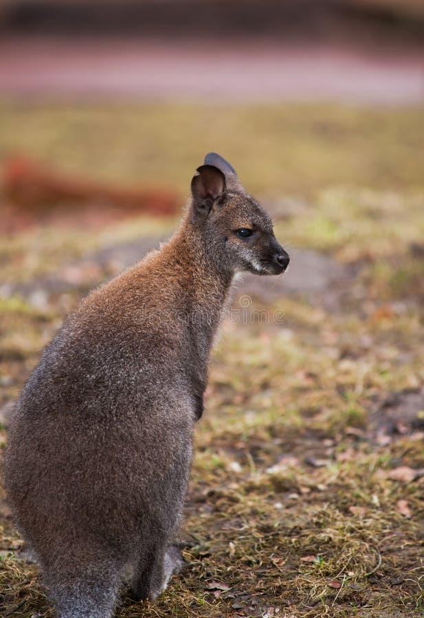 有袋动物:鼠在动物园里 免版税库存照片