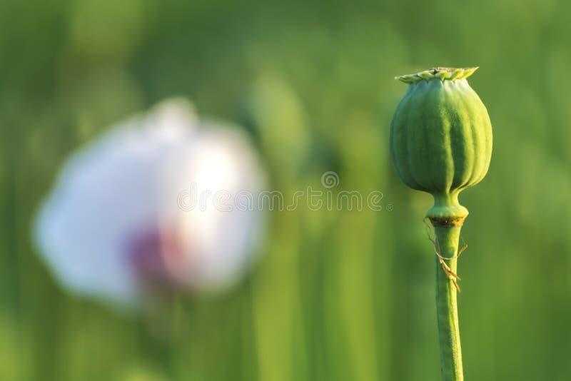 有被弄脏的花的白色领域鸦片头 免版税库存照片