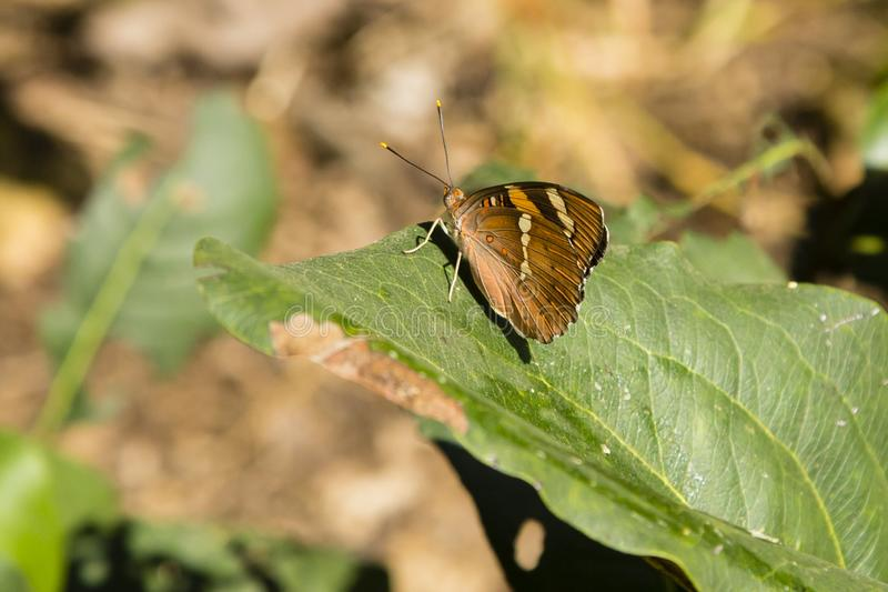 有被折叠的翼的Butterfly小男爵 库存照片