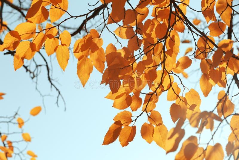 有被日光照射了金黄叶子的枝杈在秋天天 免版税库存图片