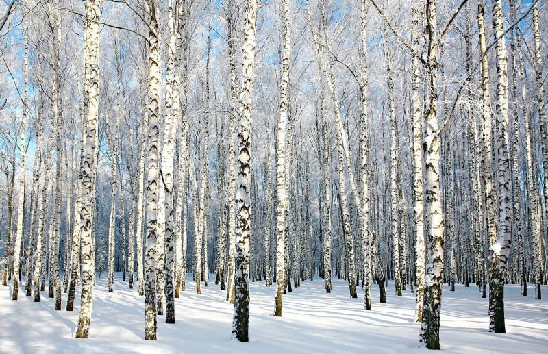 有被盖的雪的桦树森林在阳光下分支 免版税库存照片