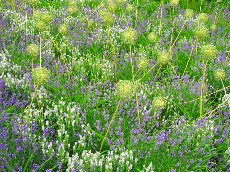 有装饰葱属的,抽象自然本底花圃 免版税库存照片