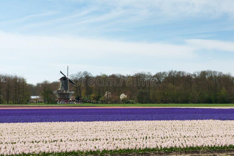 有观看在五颜六色的风信花的游人的风车调遣 图库摄影