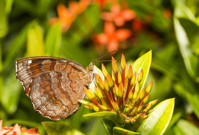 有角度的铸工蝴蝶& x28;Ariadne ariadne & x29;基于花 免版税库存照片