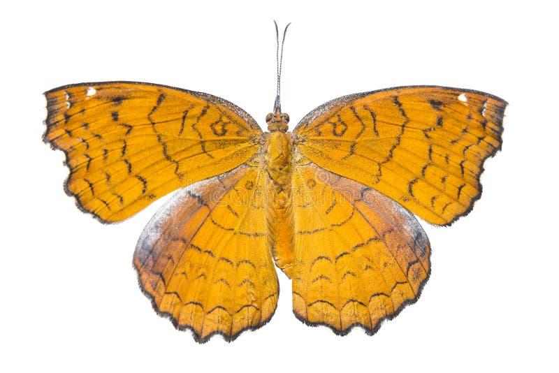 有角度的铸工蝴蝶& x28 Doesal视图;Ariadne ariadne & x29;iso 库存图片