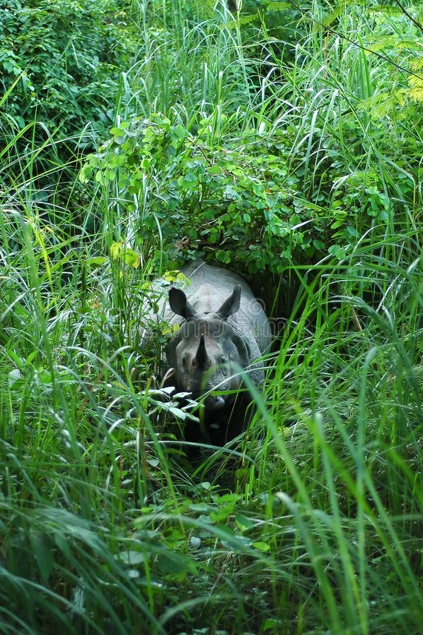 有角的印地安人一犀牛 库存图片