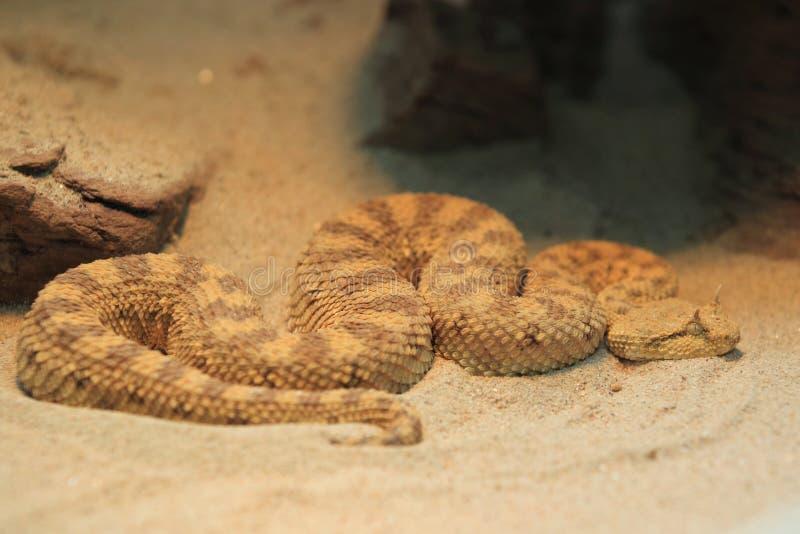 有角的沙漠蛇蝎 库存照片