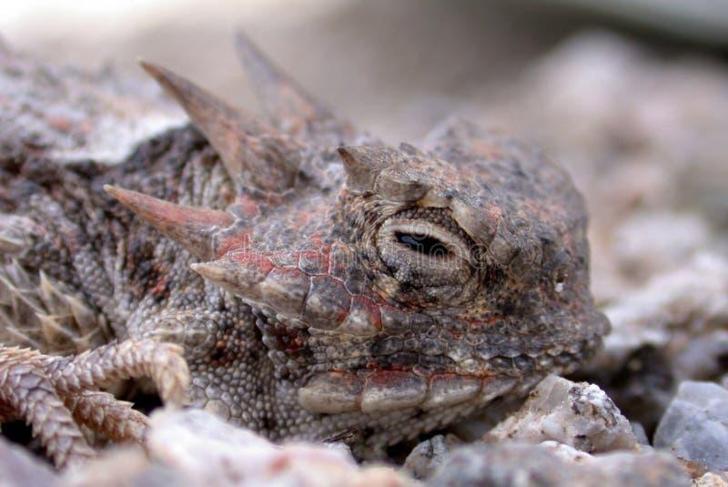 有角的蜥蜴蟾蜍 图库摄影