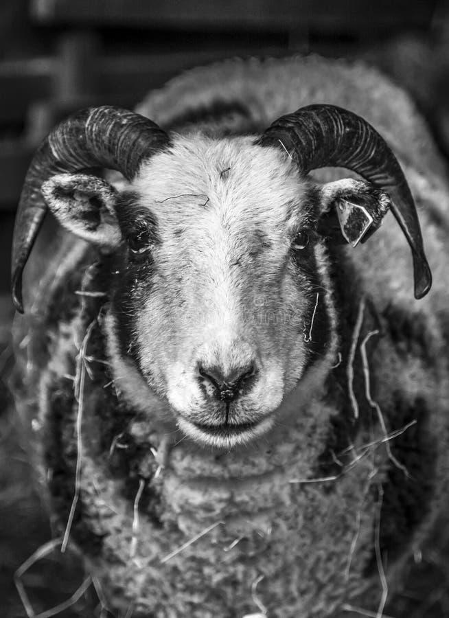 有角的绵羊 库存图片