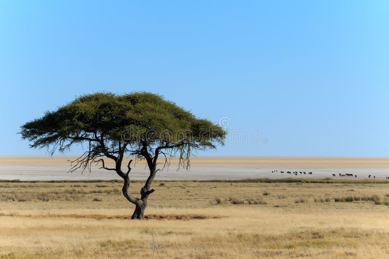 有角马的树和盐平底锅 库存照片