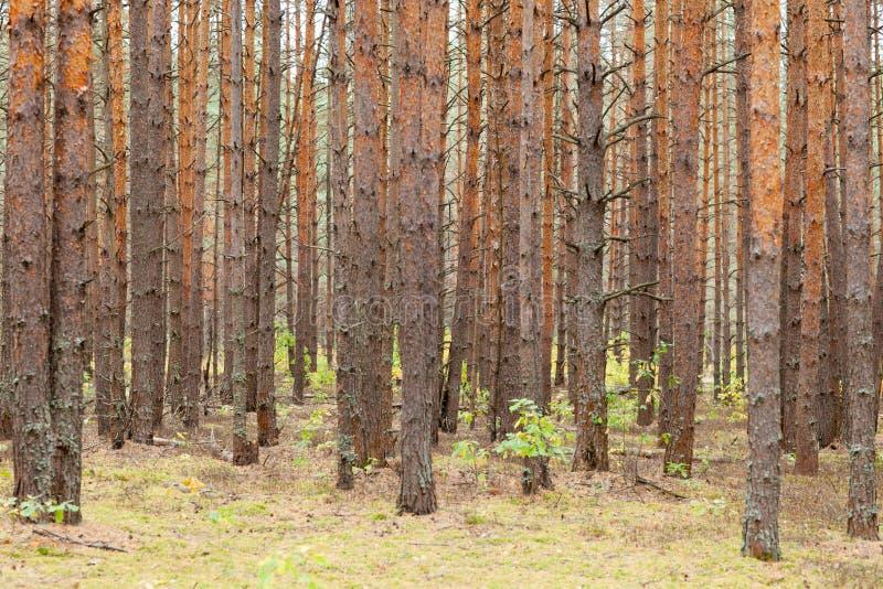 有许多树的杉木森林秋天 库存照片