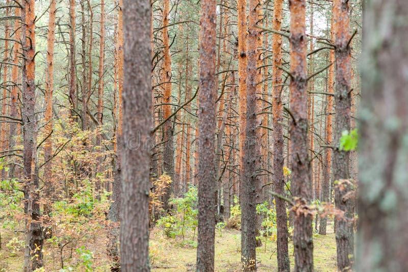 有许多树的杉木森林秋天 免版税库存照片