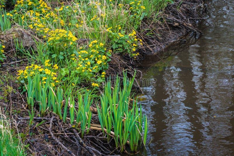 有许多植物根的小河 库存照片