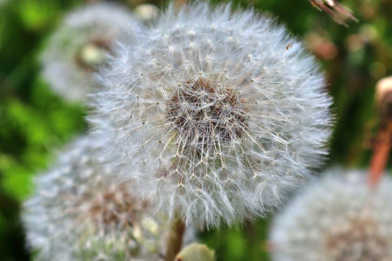 有许多的绿色草甸蒲公英絮球 免版税图库摄影