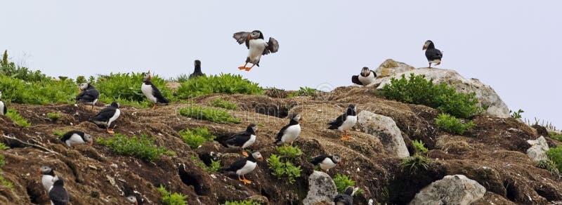有许多鸟的大西洋海鹦殖民地 库存图片