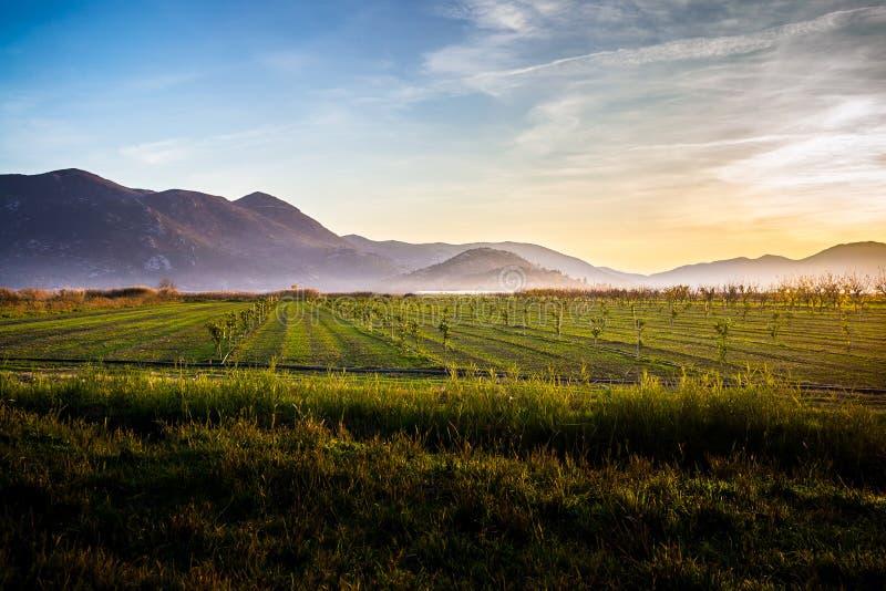 有许多年轻橄榄树的肥沃土地在日落在克罗地亚 免版税库存图片