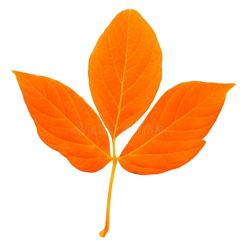 有词根的,与很多条纹的三叶草自然桔黄色新鲜的叶子 免版税库存图片