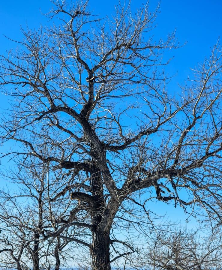 有趣的Leaveless树在阿拉斯加 免版税库存图片