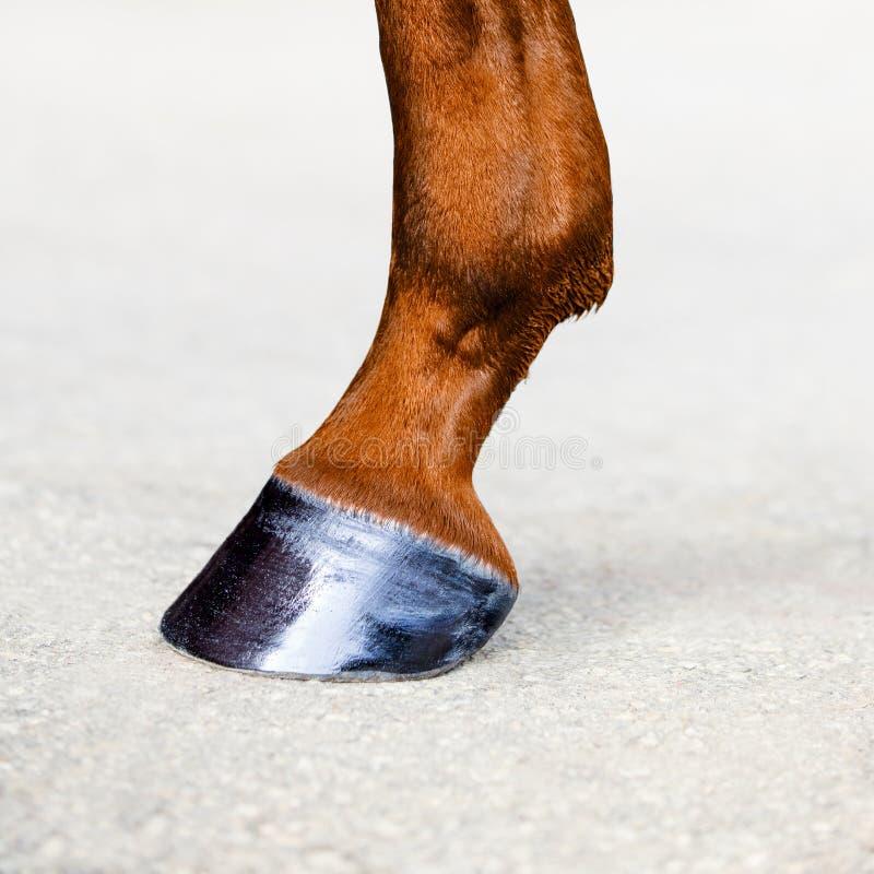 有蹄的马腿 栗子马皮肤  动物蹄特写镜头 免版税库存照片