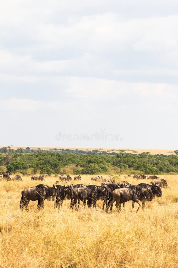 有蹄类动物小牧群在大草原的 肯尼亚mara马塞语 免版税图库摄影