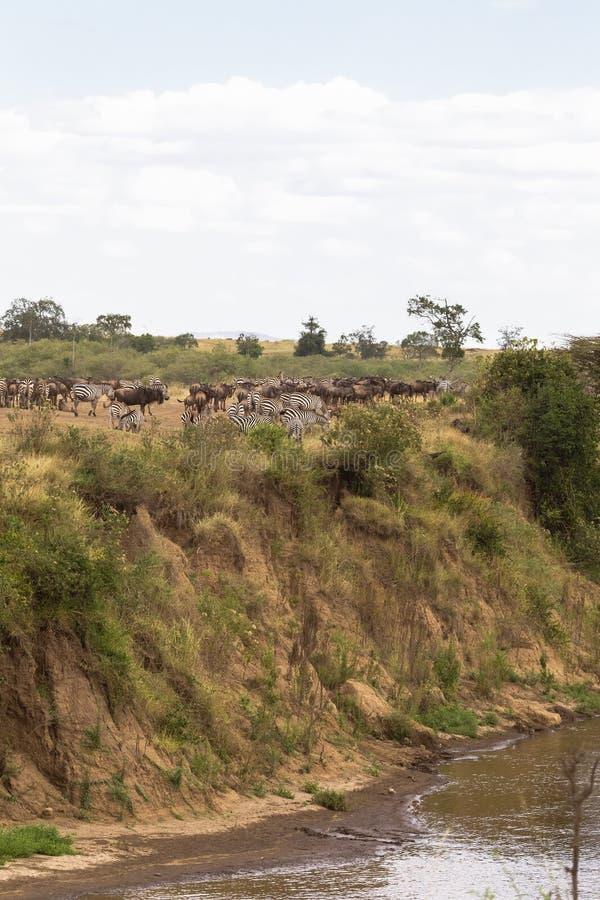 有蹄类动物牧群在河的高河岸的 玛拉河,马塞语玛拉,肯尼亚 免版税库存照片