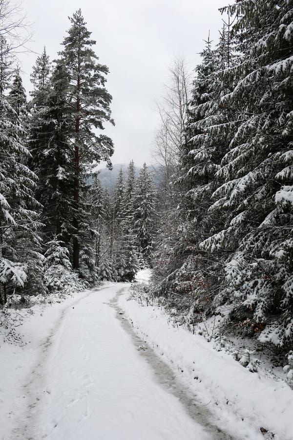 有轨道的路通过积雪的冬天季节的杉木云杉的森林 图库摄影