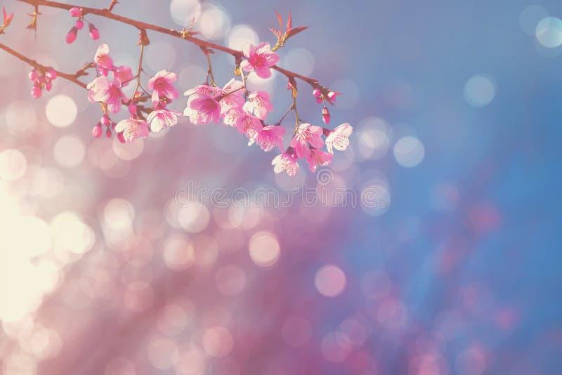 有软的焦点和bokeh的被弄脏的桃红色樱花 免版税库存图片