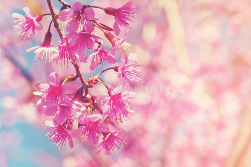 有软的焦点和bokeh的被弄脏的桃红色樱花 库存图片