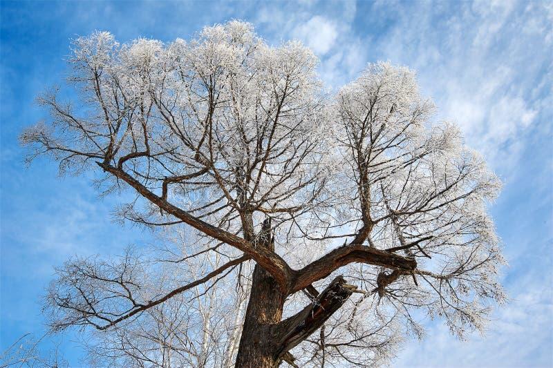 有软的霜的大树冠 免版税库存图片