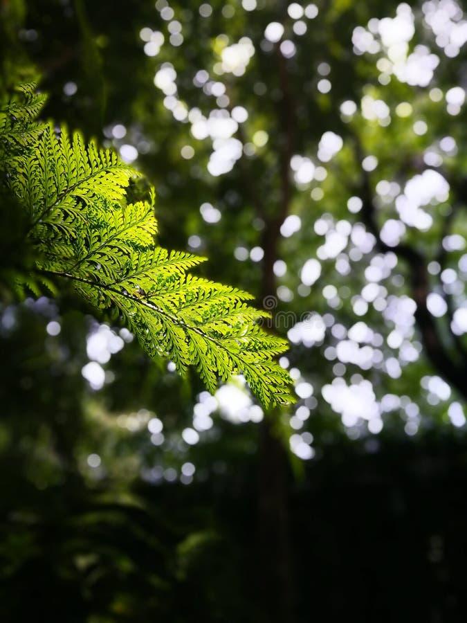 有选择性集中于新年轻有自然本底bokeh的蕨叶子  免版税库存图片