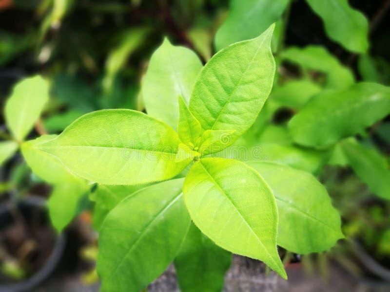 有选择性集中于由3片叶子的绿色事假芽在与三角形状的每个水平 库存图片