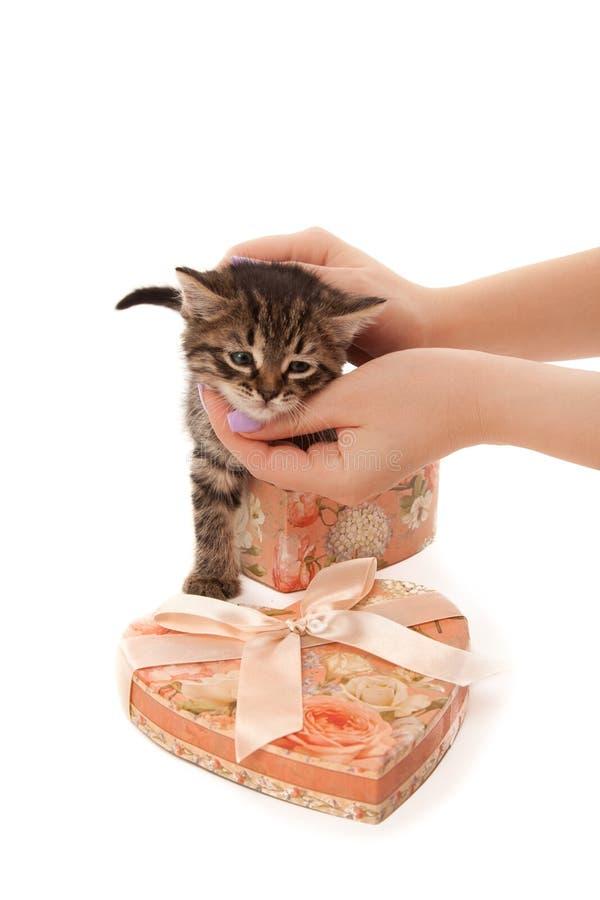 有逗人喜爱的小猫的妇女的手在心形的箱子 免版税库存图片