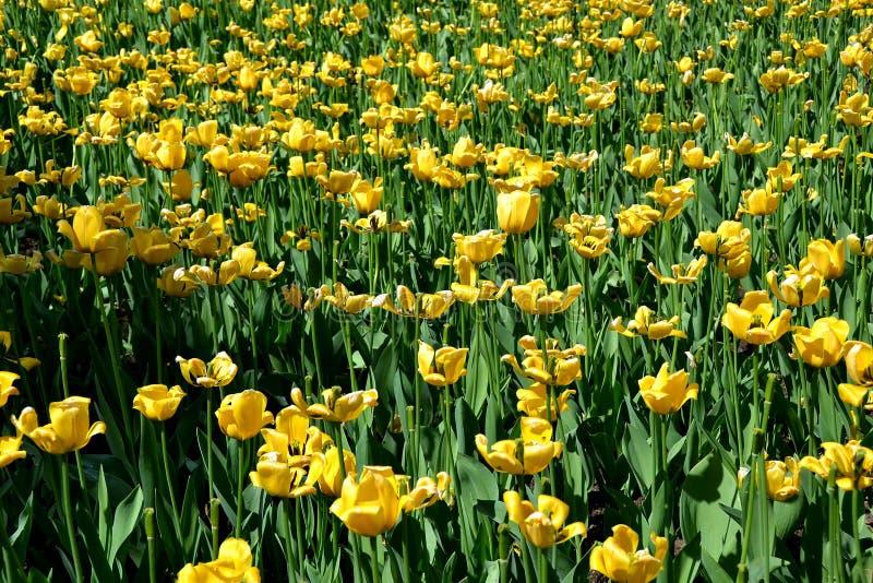 有郁金香的草甸在圣彼德堡亚历山大庭院里  免版税库存照片