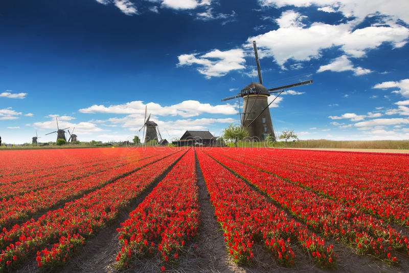 有郁金香领域的风车在荷兰 免版税图库摄影