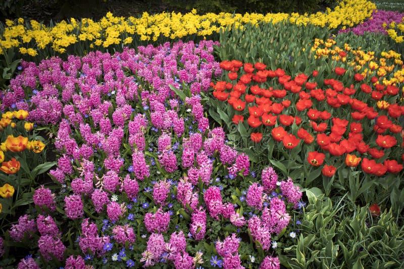 有郁金香风信花和黄水仙的五颜六色的花圃 库存照片