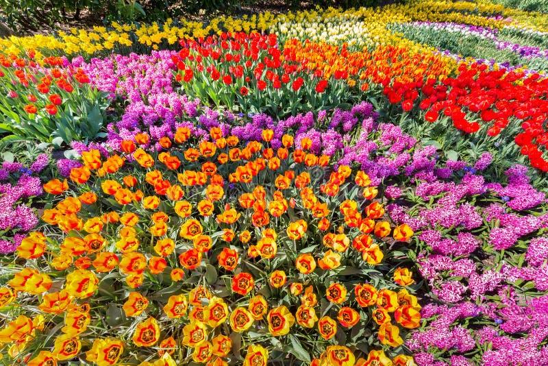 有郁金香风信花和黄水仙的花圃 免版税库存图片