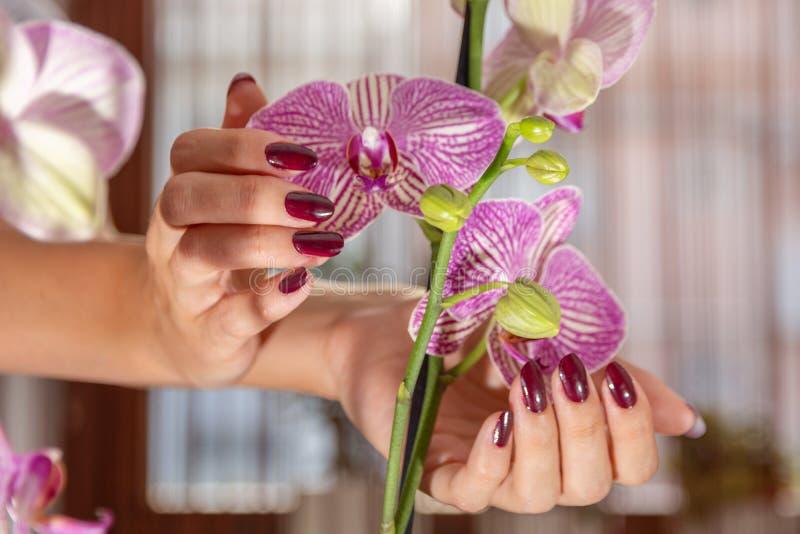 有酒颜色指甲油和紫色兰花花的美好的女性手 免版税库存图片