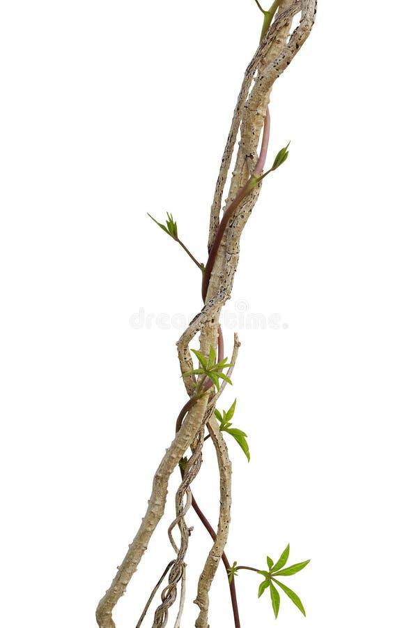 有野生牵牛花被隔绝的藤上升的干藤本植物植物 库存图片