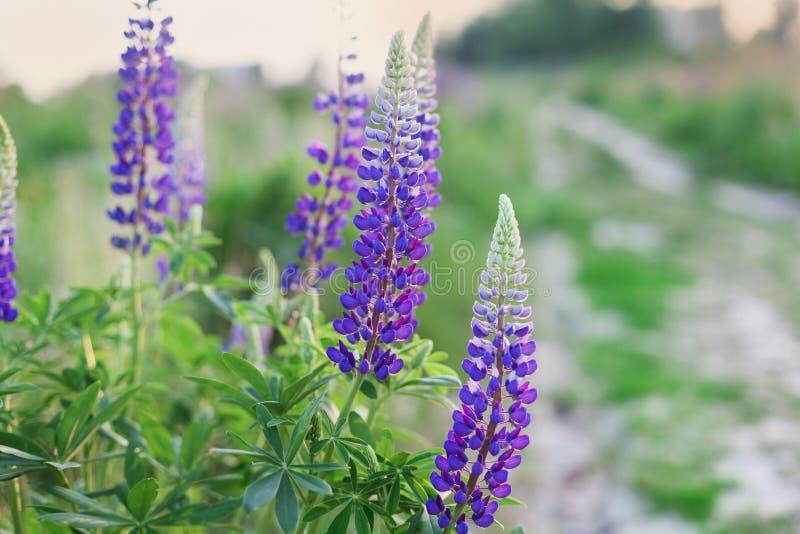 有野生羽扇豆的美丽的夏天草甸在日落光开花 库存照片