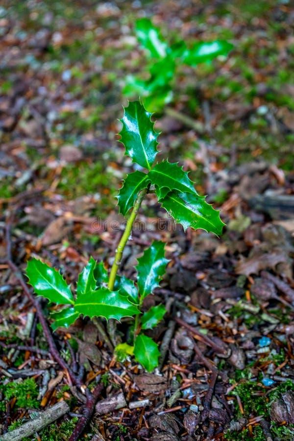 有针对性的叶子的植物在Haagse猜错,森林在海牙 免版税图库摄影