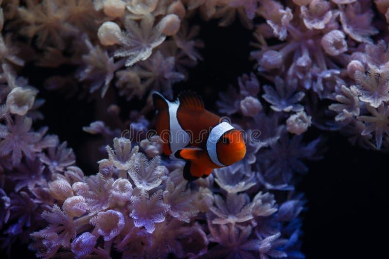 有银莲花属和小丑双锯鱼鱼的精密海scape水族馆 免版税图库摄影