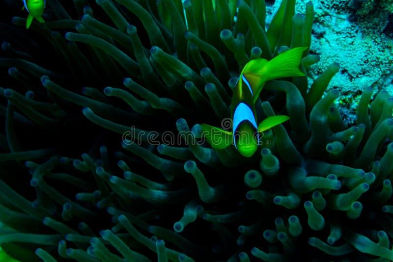 有银莲花属的水下的珊瑚庭院和一个对黄色clownfish 库存图片