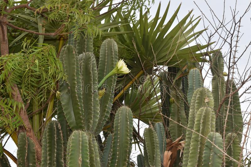 有锋利的刺和花的仙人掌植物在森林里 免版税图库摄影
